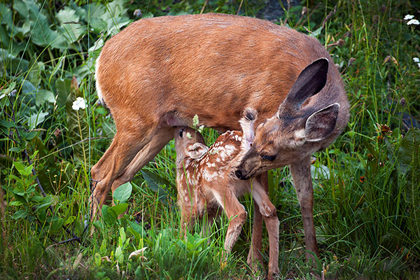 Fawn_Nursing_5977_blog600