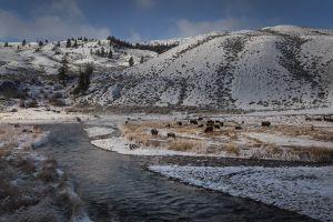 YellowstoneRiver_Buffalo_4648.jpg