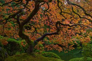 JapaneseMaple-Portland_0038_Web.jpg