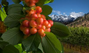 c28-RainierCherries_r5_12in_7668.jpg